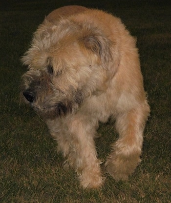 Izzie the Bully Wheaten trotting along the grass