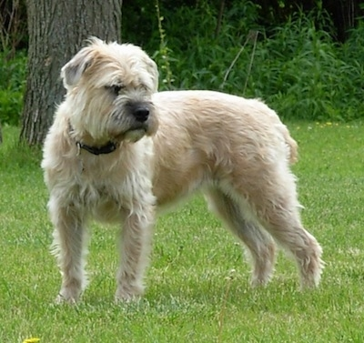 Izzie the Bully Wheaten standing outside looking into the distance