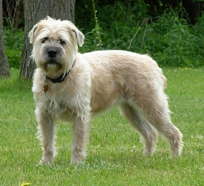 Izzie the Bully Wheaten standing outside in the grass
