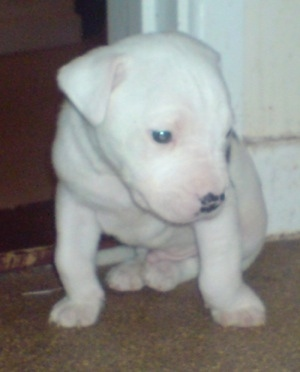 Sirus the Bullypit puppy sitting on a carpet, leaning against a door