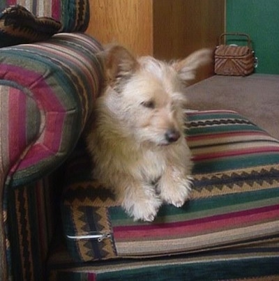 Foxie the Cairn Corgi laying on a green, maroon, and tan striped ottoman which is next to a matching chair