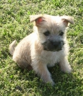 Harper the Cairn Terrier puppy is sitting outside in grass and looking forward