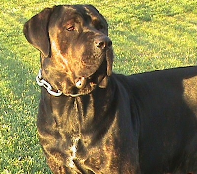 Close Up - Remy Martin the dark brown brindle Cane Corso is wearing a thick chain link collar standing outside and looking to the right