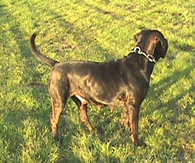 Right Profile - Remy Martin the brown brindle Cane Corso is wearing a thick chain link collar and standing outside in grass