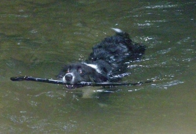 Dyson the fluffy Cardigan Corgi is swimming in a body of water with a stick in its mouth