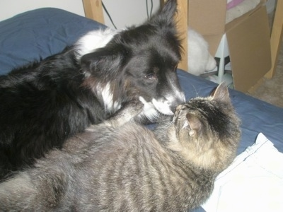 Dyson the fluffy Cardigan Corgi is laying on a bed with a cat named Felix. Dyson's Nose is in the face of Felix the Cat