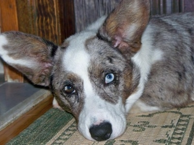 Scout the Cardigan Welsh Corgi at 7 months old.