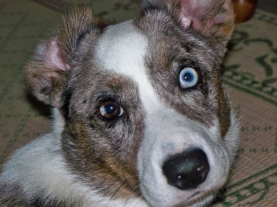 Close Up - Scout the Cardigan Welsh Corgi is sitting on a rug and one of its ears are flipped to the back