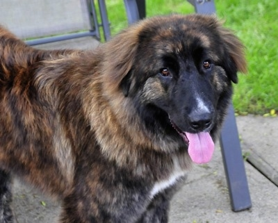 Ozzy the Caucasian Shepherd Dog is standing in front of a lawn chair with its mouth open and tongue out