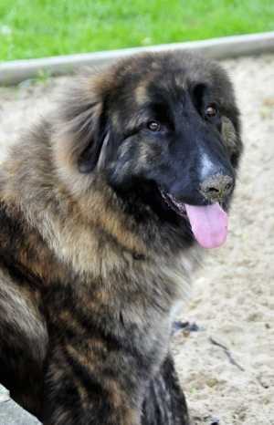 Close Up - Ozzy the Caucasian Shepherd Dog is sitting in sand. There is sand on her nose. Her mouth is open and her tongue is out