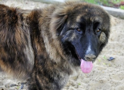 Ozzy the Caucasian Shepherd Dog is standing in sand with its mouth open and tongue out