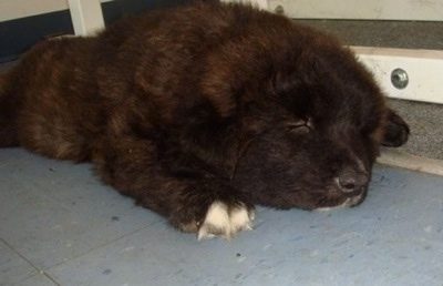 Draka the Caucasian Shepherd puppy is sleeping on a floor