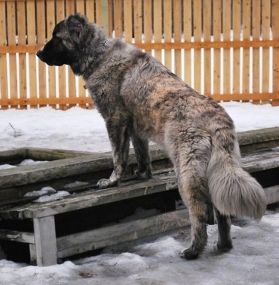 Kira Akuma Junior the Caucasian Shepherd Dog is standing on top of a wooden bench looking to the left