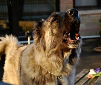 Kira Akuma Junior the Caucasian Shepherd Dog is barking and looking to the right