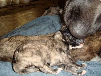 Kira the Caucasian Shepherd licking her puppy on a towel