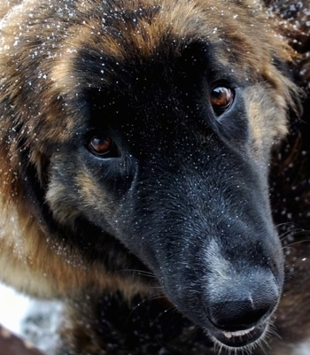Close Up - Ozzy the Caucasian Shepherd Dog with snow on his head