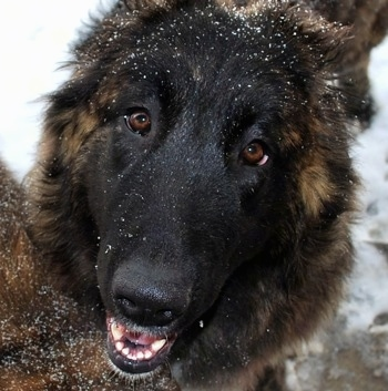 Close up head shot - Ozzy the Caucasian Shepherd Dog with his mouth open and snow on his head