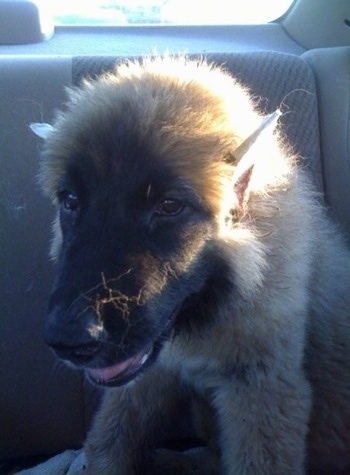 Thriller the Caucasian Shepherd Puppy is sitting in the backseat of a car