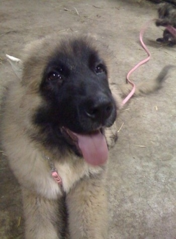 Thriller the Caucasian Shepherd Puppy is laying on a concrete floor with his mouth open and tongue out