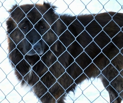 Osaka the Caucasian Shepherd dog behind a chainlink fence