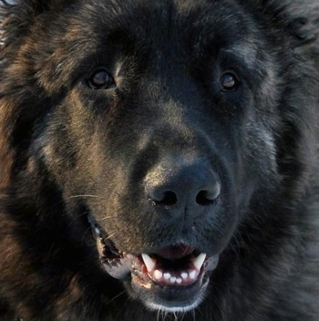 Close Up - Osaka the Caucasian Shepherd's face