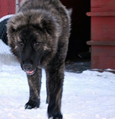 Osaka the Caucasian Shepherd is walking around on snow outside with its mouth open in front of a red barn