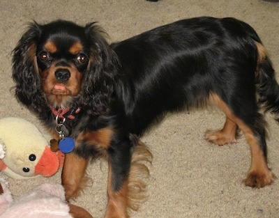 Boz the Cavalier King Charles Spaniel is standing on a carpet behind a plush duck toy
