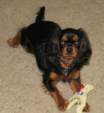 Boz the Cavalier King Charles Spaniel is laying on a carpet with a toy in its front paws