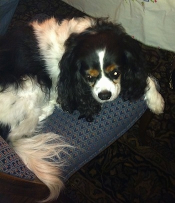 Chip the Cavalier King Charles Spaniel at 9 years old.