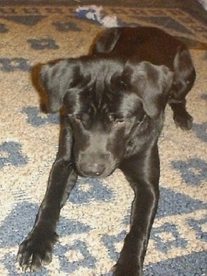 Black Lab Chow Mix Puppies