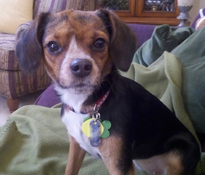 Gidget the Cheagle - Chihuahua Beagle mix