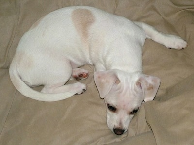 Cheagle Beagle Chihuahua Mixjpg Pictures