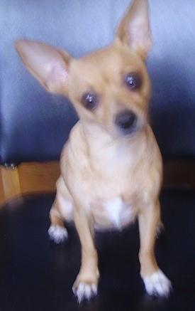 Sissy (Chihuahua / Beagle mix breed dog)