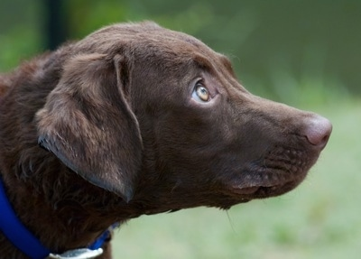 Close Up - Drake the Chesapeake Bay Retriever is standing outside and looking to the right