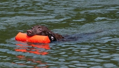Drake the Chesapeake Bay Retriever is swimming through a body of water with an orange floatie