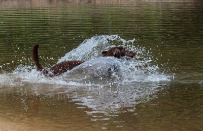 Drake the Chesapeake Bay Retriever is splashing around in a body of water