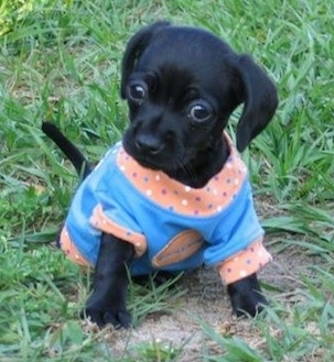 Daisy Mae the Chi-Spaniel as a puppy sitting in grass and wearing a blue and peach colored shirt