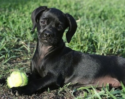 Daisy Mae the black Chi-Spaniel Puppy is laying outside in grass with a tennis ball between her front paws