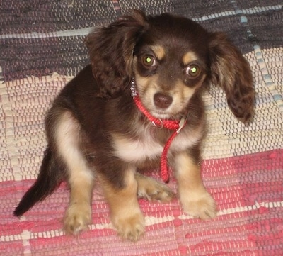 Ruby the Chi-Spaniel puppy wearing a red collar sitting on a brown, tan and red woven rug and looking at the camera holder
