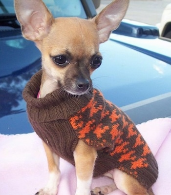 Diva Starr the tan Chihuahua is wearing a brown and orange sweater and is sitting on a pink blanket on top of a car