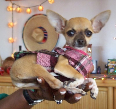 Diva Starr the Chihuahua is wearing a plaid Mexican sweater and is being held in the air by a person with a sombrero and lights hanging on the wall behind her