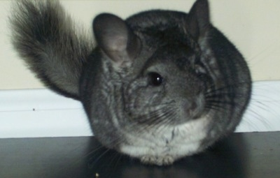 Front view - A grey with white Chinchilla is sitting on a black tabletop and it is looking to the right.