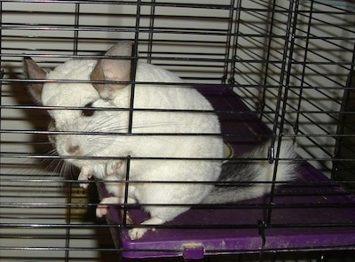 Close up - A white Chinchilla is standing on a purple surface in its cage standing close to the side looking out.