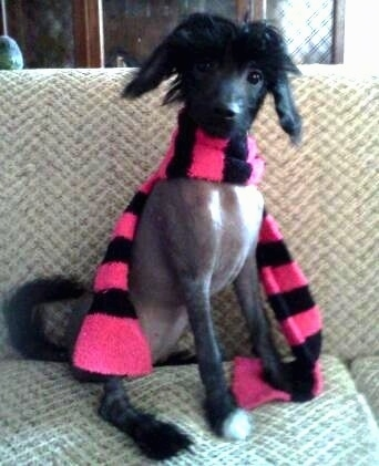 Vixen the Chinese Crestepoo Puppy is wearing a pink and black scarf. Vixen is sitting on a couch and there is a cabinent behind her