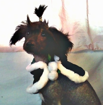 Close Up - Veela the Chinese Crestepoo Puppy is wearing a black cape with white cotton around the edges. Her top knot is in a pony tail.