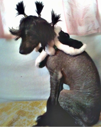 Veela the Chinese Crestepoo Puppy is wearing a black cape with white cotton around the edges. She is sitting in front of a bed. She has three pony tails on top of her head which are sticking up like a mohawk.