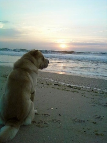 The back of a thick, tan Chinese Shar Pei dog that is sitting on a beach, it is looking to the right and there is a body of water and a sunset in front of it.