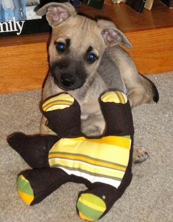 Chipit Dog Breed