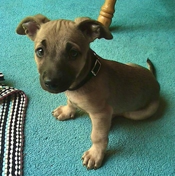 Chipit information and pictures Chihuahua American Pit Bull Terrier