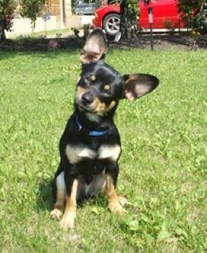 Buster the black with tan Chiweenie is sitting outside in a lawn and its head is tilted to the right. There is a red car in the background. He has large perk ears.